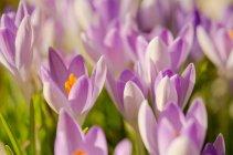 Vista del primo piano dei croco di fioritura — Foto stock