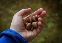 Close-up view of hand holding acorns — Stock Photo