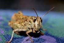 Close-up view of grasshopper on blue cloth — Stock Photo