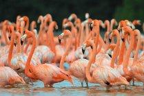 Flamingos em pé no lago — Fotografia de Stock