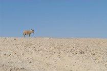 Одинокий ослик стоял в пустыне — стоковое фото