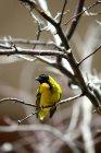 Vista del Fringillide giallo che si siede sul ramo di un albero — Foto stock