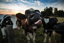 Cows graizing outdoors — Stock Photo