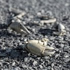 Closeup view of crab claws and body parts on stones — Stock Photo