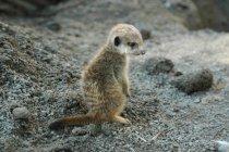 Крупным планом вид meerkat щенка на скальном грунте — стоковое фото