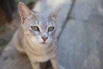 Grey cat looking at camera — Stock Photo