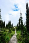Path among spruce trees — Stock Photo