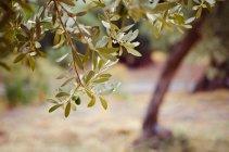 Branches avec des olives mûres en plein soleil — Photo de stock