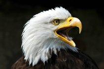 Aigle sur fond noir — Photo de stock