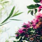 Крупным планом бугенвилии цветковых растений, снизу вид — стоковое фото