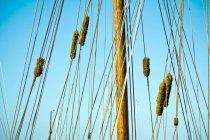 Giunco contro cielo blu pieno di sole — Foto stock
