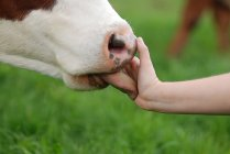 Cow licking persons hand — Stock Photo