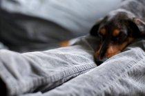 Hund, Blick in die Kamera — Stockfoto