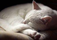 Белый Кот спать — стоковое фото