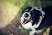 Cropped view of angry dog barking — Stock Photo