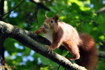 Close-up view of red squirrel on tree — Stock Photo