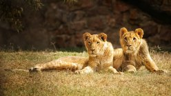 Front view of lionesses lying on grass — Stock Photo