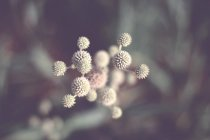 Closeup view of wild herbal plant growing outdoors — Stock Photo