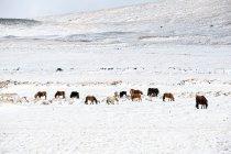 Poneys de l'Islande, chevaux islandais — Photo de stock