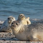 View of harbour seals looking in camera on coastline — Stock Photo