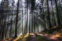 Сонячний промінь освітлення крізь дерева — стокове фото