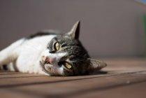 Gato deitado no chão de madeira — Fotografia de Stock