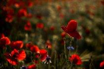Mohn Blumen auf Feld — Stockfoto