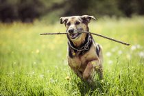 Front view of dog running with wooden stick — Stock Photo