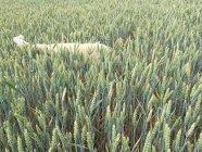 Hund versteckt sich in Wiese hohe Gräser — Stockfoto