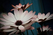 Closeup view of wild marguerite blooming flowers — Stock Photo