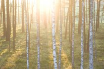 Forest in spring sunset — Stock Photo