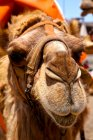 Close-up view of dromedary camel face — Stock Photo