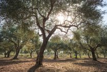 Olive trees in grove — Stock Photo