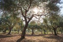 Оливкові дерева в гаю — стокове фото