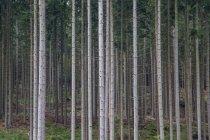 Birch Grove ad estate — Foto stock