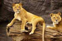 Leonesse che riposa sul tronco d'albero in giardino zoologico — Foto stock