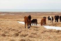 Ісландська поні, ісландський коней — стокове фото