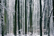Landscape with winter forest view — Stock Photo