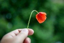 Nahaufnahme der Hand, die Mohnblüte — Stockfoto