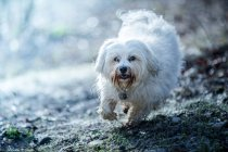 Front view of bichon dog running in forest — Stock Photo