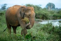 Elephant holding bunch of grass with trunk — Stock Photo