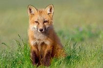 Red fox животных на открытом воздухе — стоковое фото