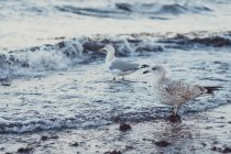 Seagull on sea beach searching for food — Stock Photo