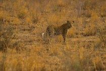 Денного зору jaguar стоячи в поле і, дивлячись на камеру — стокове фото