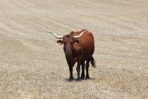 Vaca graizing al aire libre - foto de stock