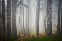 Forest at foggy morning — Stock Photo
