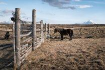 Ісландський ландшафт з кіньми на пасовищі — стокове фото