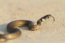 Mostrando a língua de cobra — Fotografia de Stock