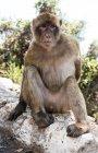 Barbary macaque mono sentado sobre la roca mirando lejos - foto de stock