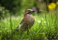 Close-up view of jay bird on grass — Stock Photo
